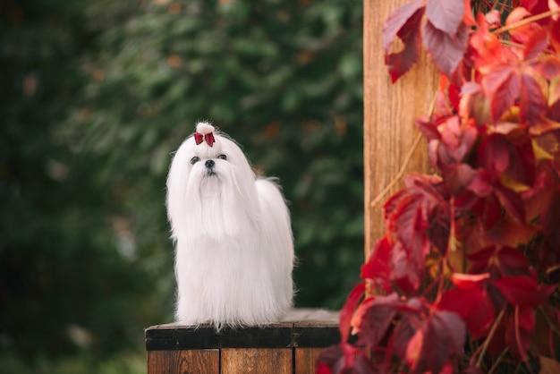 Cão maltês com bela aparência