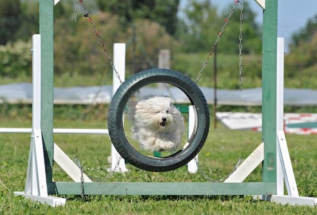 Cão maltês de salto