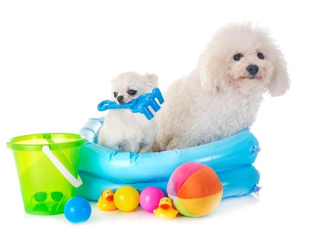 Cão maltês e chihuahua