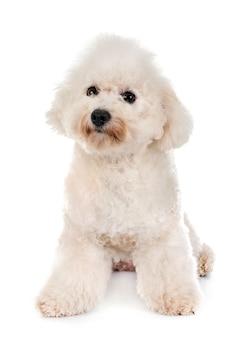 Cão maltês em estúdio