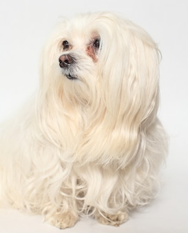 Cão maltês fêmea em um branco