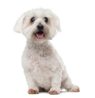 Cão maltês idoso com catarata, sentado, ofegante