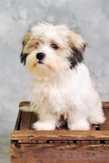 Cão maltês sentado em caixa de madeira