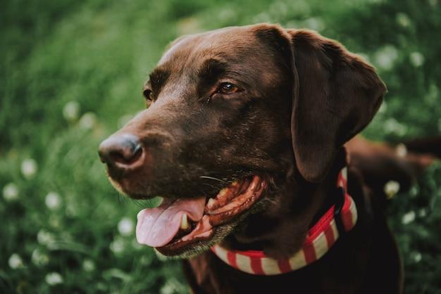 Cão marrom adorável na caminhada ao ar livre. chocolate bonito labrador retriever