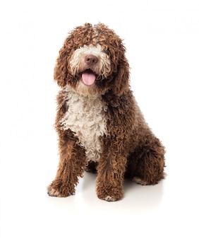 Cão marrom de cabelos compridos com a língua para fora