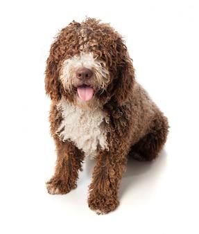 Cão marrom de cabelos compridos que senta-se com lingüeta para fora