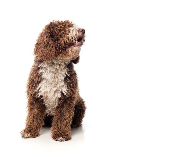 Cão marrom de cabelos compridos que senta-se olhando para um lado