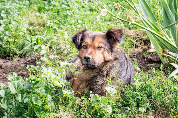 Cão marrom deitado na grama no jardim. cão protege a propriedade