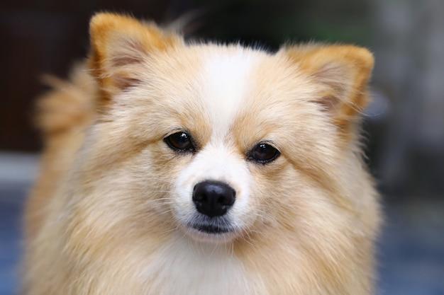 Cão marrom que está de vista para a frente.