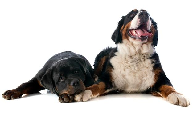 Cão moutain bernese e rottweiler