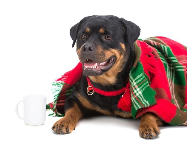 Cão muito triste, rottweiler, sob um cobertor com uma xícara de chá.