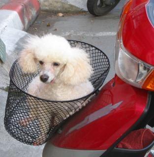 Cão na cesta