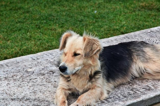 Cão na cidade de orquídea, macedônia