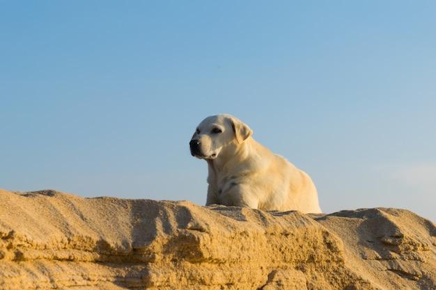 Cão na duna de areia