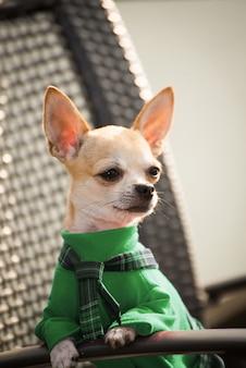 Cão na roupa verde para uma caminhada.