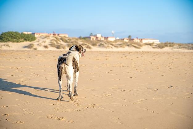 Cão no litoral caminha na areia