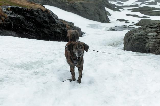 Cão norueguês nas montanhas
