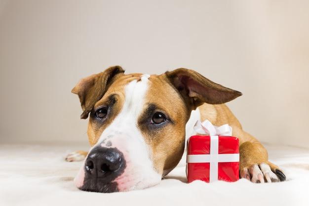 Cão novo do staffordshire terrier com presente vermelho pequeno bonito. poses engraçadas do filhote de cachorro pitbull fechem no fundo interior do quarto acolhedor com um presente surpresa