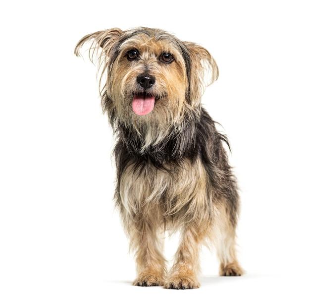 Cão ofegante da raça crossebreed, yorkshire e griffon, isolado no branco