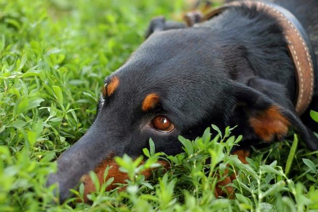 Cão olha na grama