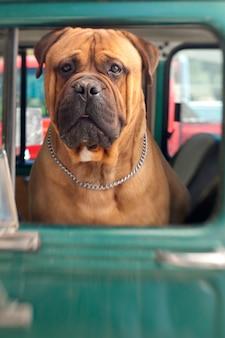 Cão, olhando para fora da janela do caminhão