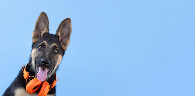 Cão pastor alemão cachorrinho em fones de ouvido, superfície azul isolada