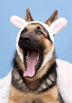 Cão pastor alemão com a boca aberta e orelhas de coelho. no fundo azul cachorro engraçado