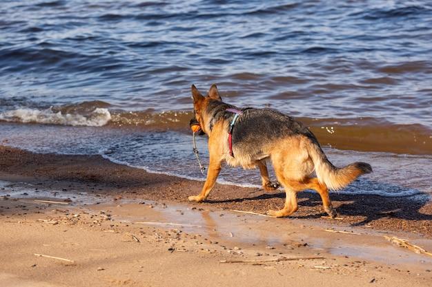 Cão pastor alemão correndo à beira-mar com uma bola laranja na boca.