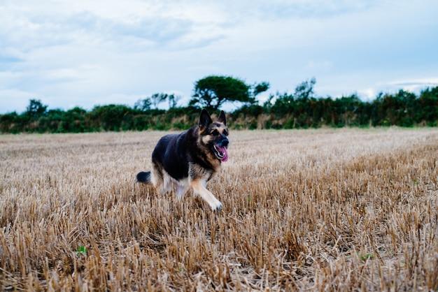 Cão pastor alemão correndo em um campo gramado durante o dia