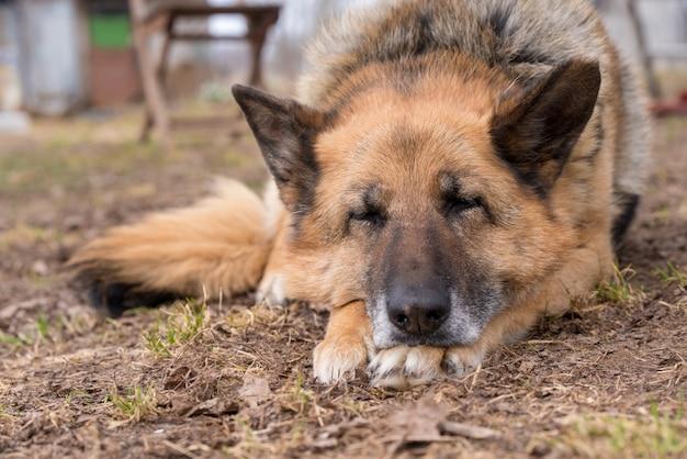 Cão pastor alemão dormindo ao ar livre no chão