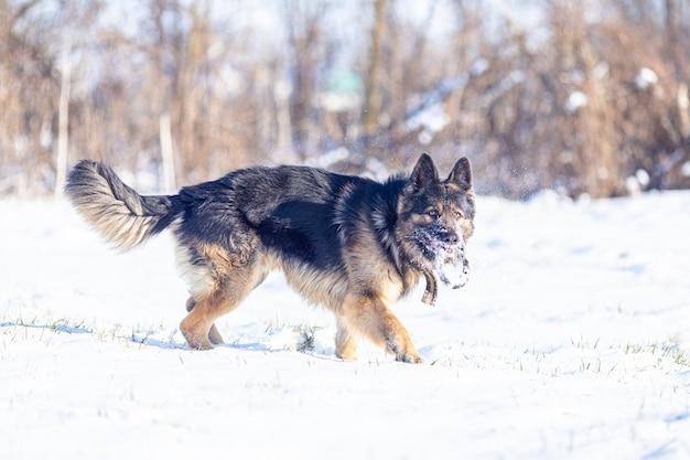 Cão pastor alemão durante o treinamento ao ar livre