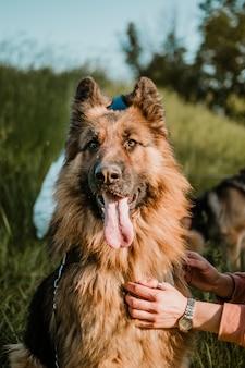 Cão pastor alemão e mão humana fechar