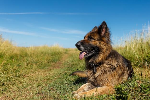 Cão pastor alemão encontra-se com a língua para fora na grama contra o céu azul.