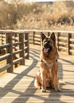 Cão pastor alemão fofo e poderoso sentado em uma ponte de madeira com a boca aberta