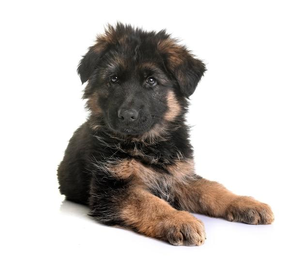 Cão pastor alemão isolado