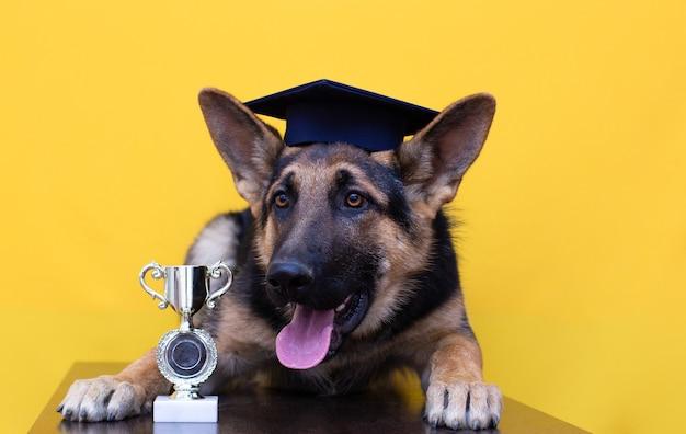 Cão pastor alemão jovem e fofo com chapéu de estudante e ouro isolado em fundo amarelo.