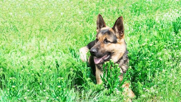 Cão pastor alemão na grama verde. lindo cachorro grande deitado em um prado em um dia ensolarado
