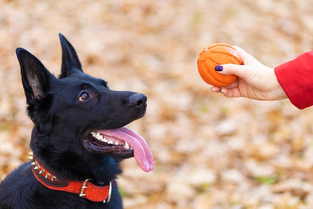 Cão pastor alemão preto brincando com seu dono