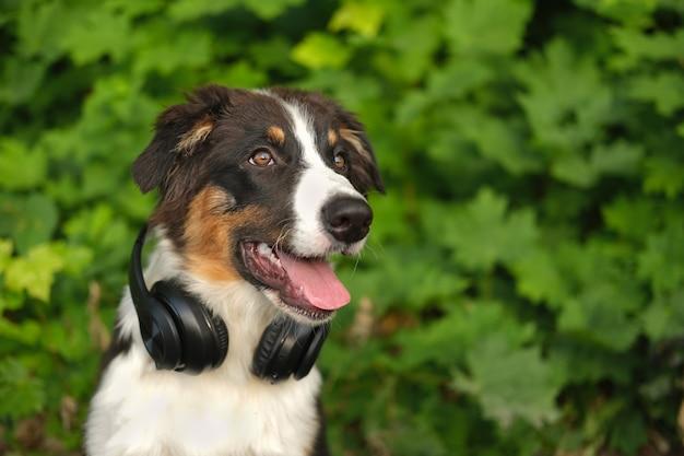 Cão pastor australiano fofo engraçado com três cores usando fones de ouvido