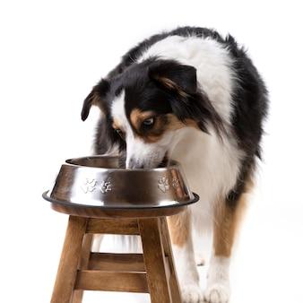 Cão pastor australiano tricolor comendo