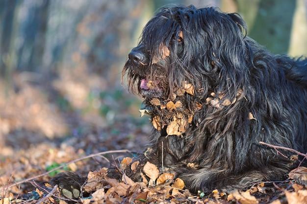 Cão pastor bergamasco com folhas no cabelo