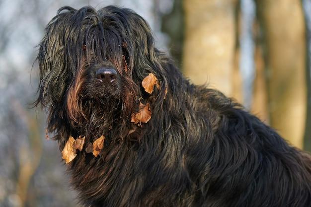 Cão pastor bergamasco com folhas no focinho
