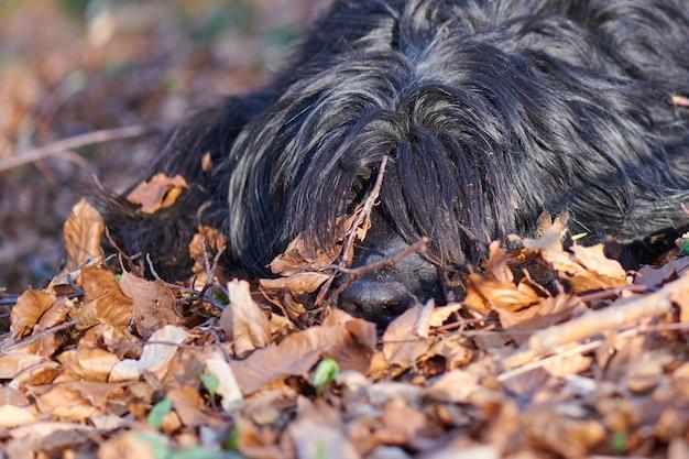 Cão pastor bergamasco imerso na folhagem da madeira