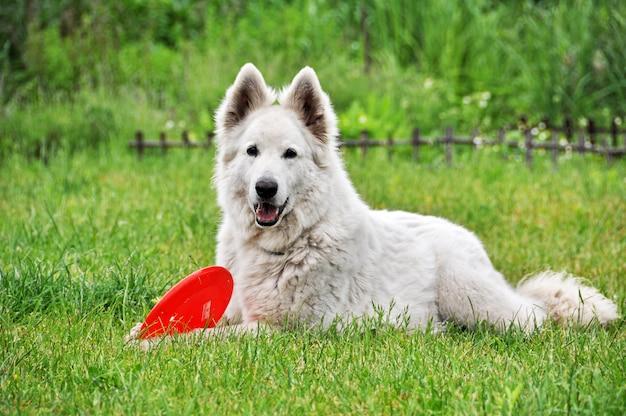 Cão pastor branco brincando com disco voador