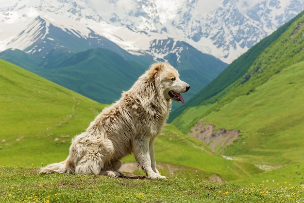 Cão pastor caucasiano para a guarda de gado na aldeia ushguli. svaneti, geórgia