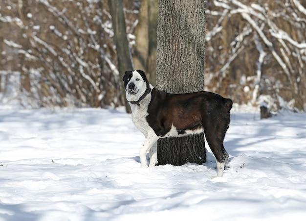 Cão pastor da ásia central preto e branco em uma floresta de inverno