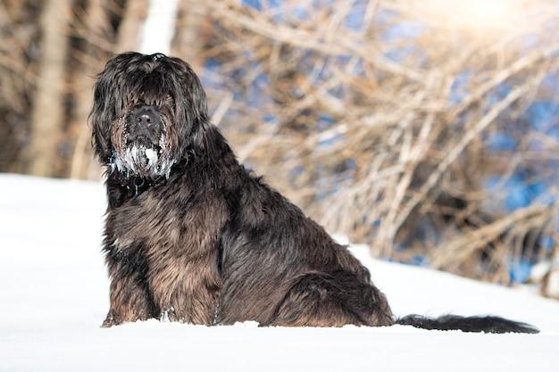 Cão pastor de bergamo na neve com barba gelada