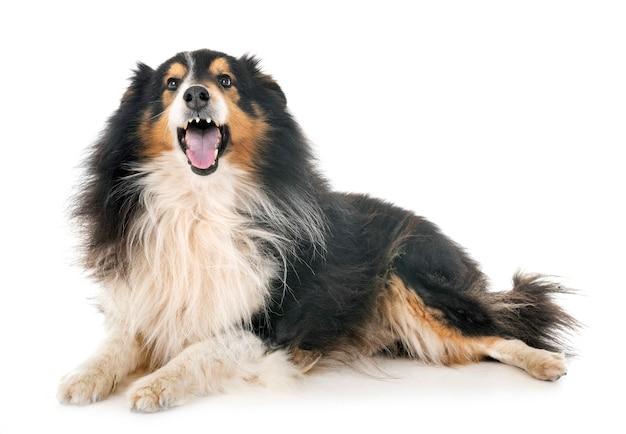 Cão pastor de shetland em estúdio