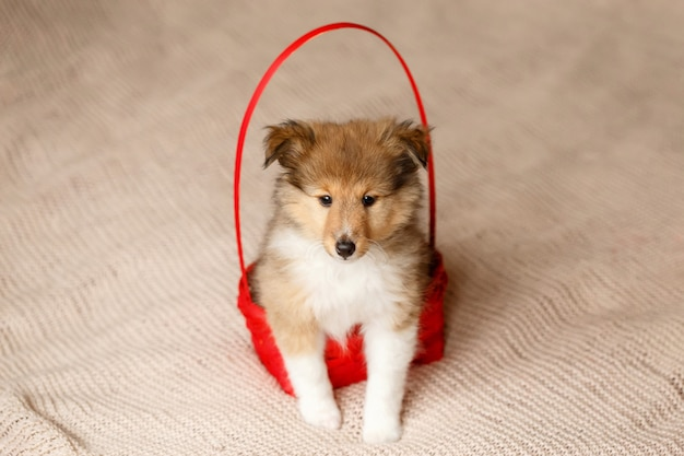 Cão pastor de shetland. fofo sentado sheltie cachorro filhote de cachorro