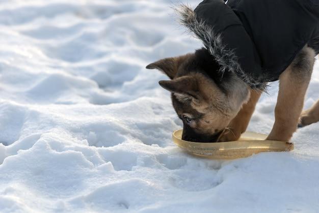 Cão pastor fofo bebendo água no inverno